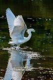 Egret Snowy начиная лететь Стоковые Изображения RF