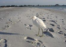 Egret Snowy на пляже на пляже Lido, Флориде Стоковая Фотография RF