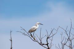 Egret Snowy садить на насест на ветви дерева стоковое изображение rf