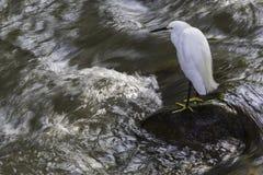 Egret Snowy стоя на утесе со спеша водой вокруг ее стоковое изображение
