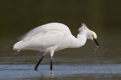 Egret Snowy улавливая рыбу, лагуну Estero, Flor стоковые фотографии rf