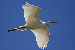 Egret Soaring. Great egret shot from below as it flies overhead.  The wings are translucent Stock Photos