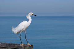 Egret sobre el océano fotografía de archivo libre de regalías