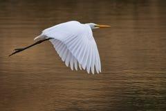Egret a solas en vuelo Imágenes de archivo libres de regalías