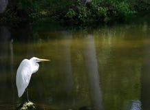 Egret solitario foto de archivo libre de regalías