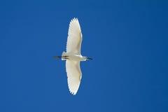 egret som över flyger little Royaltyfri Bild