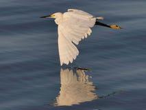 egret som flyger snöig spetstouch royaltyfri bild
