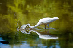 Egret spearing fish. A Great Egret spear fishes in pond in rural Monroe GA Stock Photography
