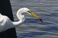 Egret spears fish at Huntingdon Beach State Park Royalty Free Stock Photography