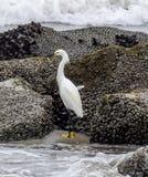 Egret spojrzenia dla śniadania fotografia stock