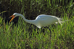 Egret squawking as it stalks prey in the grass, everglades. Royalty Free Stock Image