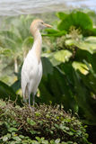 Egret standing on a bush. Malaysia. Royalty Free Stock Photo