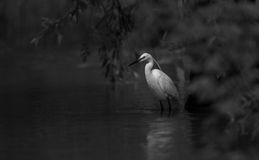Egret standing on river bank Royalty Free Stock Photo