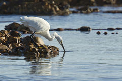 Egret drinking Royalty Free Stock Photos