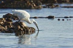 Egret drinking Royalty Free Stock Photos