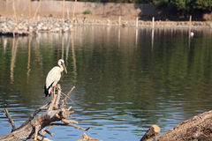 Egret standing on twig Royalty Free Stock Photo