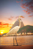 Egret  stands on a sunset Royalty Free Stock Photo