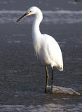 Egret in the stream Royalty Free Stock Photos