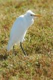 Egret su erba immagine stock libera da diritti