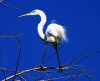 Egret su un membro Fotografia Stock