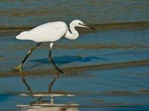Egret sul puntello di mare Immagini Stock