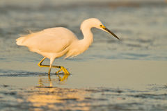 Egret at sunrise. Great egret fishing the shores of Florida Royalty Free Stock Photography