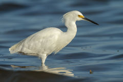 Egret at sunrise Stock Image