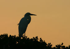 Egret Sunset. A Great Egret on a mangrove against a Florida sunset Royalty Free Stock Photo