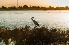 Egret tailandês Imagem de Stock Royalty Free