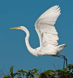 Egret Takeoff Stock Photos