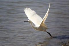 Egret takeoff Stock Photography