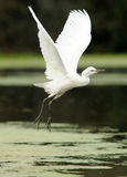 Egret takes off in the river Royalty Free Stock Photos
