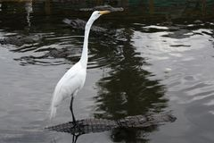 Egret takes a ride Royalty Free Stock Photo