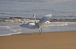 Egret taking flight from the shore Stock Photography
