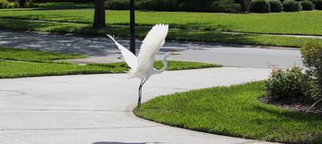Egret taking flight. Snowy white egret taking flight from driveway on a sunny afternoon Stock Photography