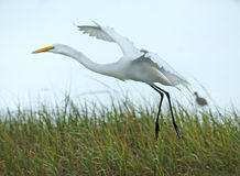 Egret taking off from a marsh, Gulf of Mexico, Florida. Royalty Free Stock Photo