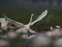 Egret in water lily pond. Egret taking off in water lily pond stock images