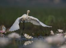 Egret in water lily pond. Egret taking off in water lily pond royalty free stock image