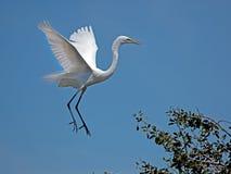 egret target1728_1_ śnieżnego biel Obraz Stock