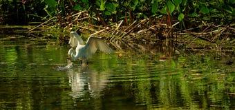 egret target3257_1_ wielkiego biel fotografia royalty free