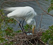 Free Egret Tending Its Eggs Stock Photo - 99457160