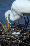 Egret tending a nest with eggs in central Florida. Royalty Free Stock Photo