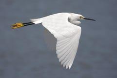 egret thula egretta śnieg Zdjęcia Royalty Free