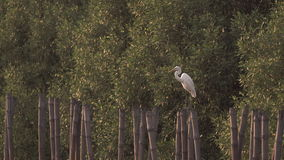 Egret tramples on a bamboo stump stock video