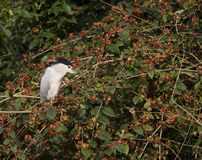 An Egret in on a tree. A bird, most probably an egret, resting on a branch. Egret (closely related to a heron) usually live near water royalty free stock photography