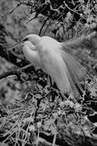 Egret in tree royalty free stock images
