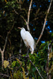 Egret on a tree next to a jungle river. An Egret perches on a tree branch overlooking a jungle river in Borneo stock photo