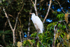 Egret on a tree next to a jungle river. An Egret perches on a tree branch overlooking a jungle river in Borneo royalty free stock photography