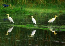 Egret Trio. The Great Egret feeds in shallow water or drier habitats, spearing fish, frogs or insects with its long, sharp bill. It will often wait motionless Royalty Free Stock Images
