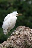 egret trochę Zdjęcie Royalty Free